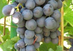 Сорт винограда очень раннего срока созревания. Агат донской.