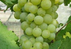 Сорт винограда раннего срока созревания. Донецкий жемчуг.