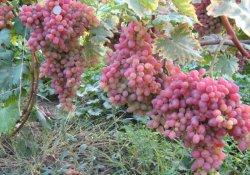 Сорт винограда раннего срока созревания. Кишмиш лучистый.