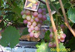 Сорт винограда раннего срока созревания. Леся или Украинка.