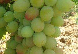 Сорт винограда раннего срока созревания Мечта