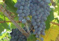 Сорт винограда раннего срока созревания Сюрприз