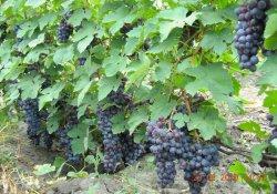Сорт винограда раннего срока созревания Фиолетовый ранний