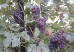 Сорт винограда раннего срока созревания - Шасла розовая