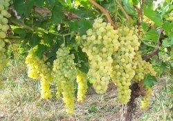 Сорт винограда раннего срока созревания - Шасла белая