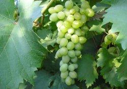 Юбилей -70 - сорт винограда раннего срока созревания