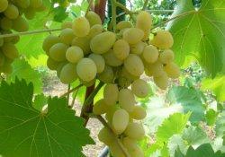 Янтарь - сорт винограда раннего срока созревания