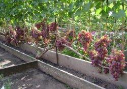 Ризамат - сорт винограда ранне-среднего созревания