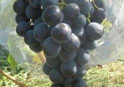 Гузаль кара - сорт винограда среднего срока созревания