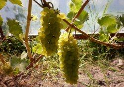 Бианка - сорт винограда среднего срока созревания