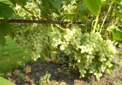 Ланка - сорт винограда среднего срока созревания