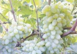 Ляна - сорт винограда среднего срока созревания
