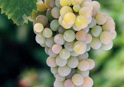 Стартовый - сорт винограда среднего срока созревания