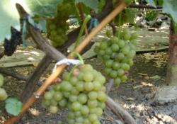 Мускат одесский - сорт винограда среднего срока созревания