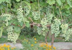 Фрумоаса албэ - сорт винограда среднего срока созревания