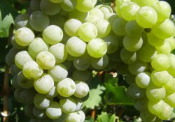 Цветочный - сорт винограда среднего срока созревания