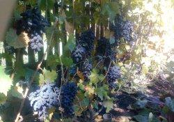 Виерул-59 - сорт винограда средне-позднего срока созревания