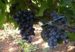 Мускат гамбургский - сорт винограда средне-позднего срока созревания