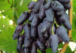 Одесский сувенир - сорт винограда средне-позднего срока созревания