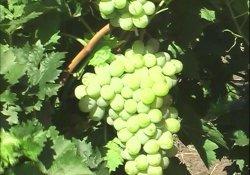 Русмол - сорт винограда средне-позднего срока созревания