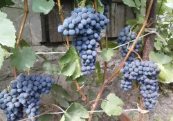 Саперави северный - сорт винограда средне-позднего срока созревания
