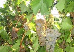 Степняк - сорт винограда средне-позднего срока созревания
