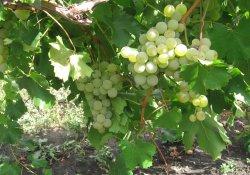Сурученский белый - сорт винограда средне-позднего срока созревания