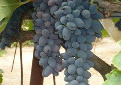 Декабрьский - сорт винограда позднего срока созревания
