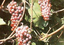 Днестровский розовый - сорт винограда позднего срока созревания