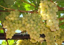 Италия - сорт винограда позднего срока созревания