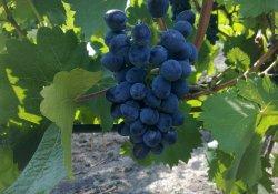 Кутузовский - сорт винограда позднего срока созревания