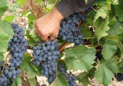 Молдова - сорт винограда позднего срока созревания