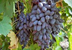 Памяти Негруля - сорт винограда позднего срока созревания