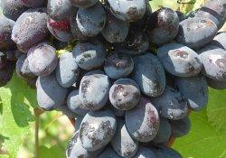 Смуглянка молдавская - сорт винограда позднего срока созревания