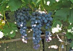 Страшенский - сорт винограда позднего срока созревания