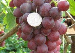 Юбилей Журавля - сорт винограда позднего срока созревания