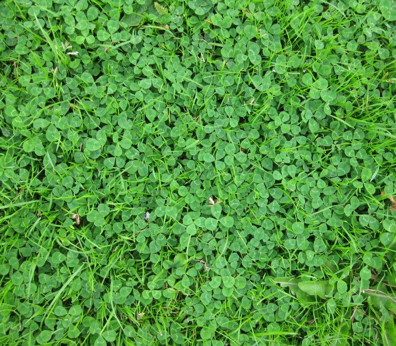 ползучая трава сорняк фото