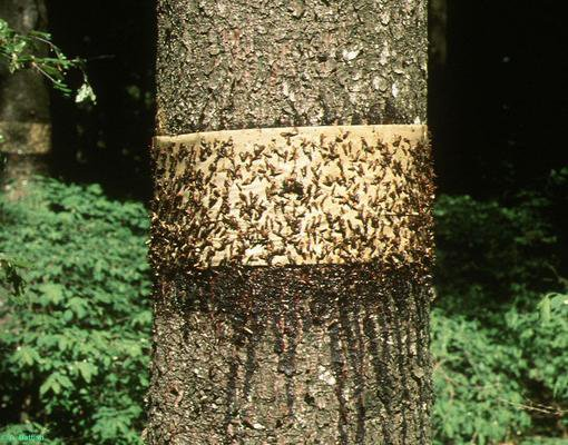 Как сделать ловчий пояс для деревьев от муравьев