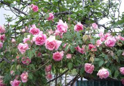 Роза майская