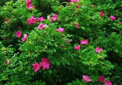 Роза ругоза или морщинистая