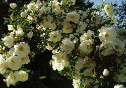 Роза пимпинеллифолия или бедренцоволистная