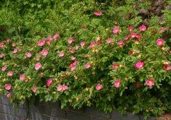 Роза нитида