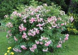 Роза «Pink Grootendorst»