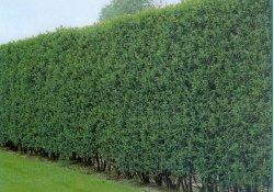 Живая изгородь из бирючины