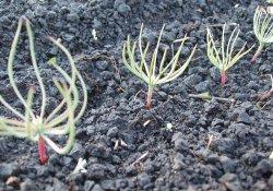 Посев семян сосны