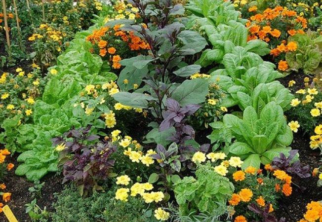 Картинки по запросу растения которые отпугивают насекомых