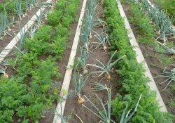 Посадки моркови и лука
