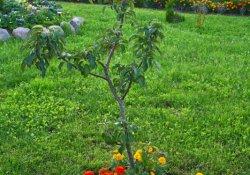 Бархатцы для отпугивания яблоневой плодожорки