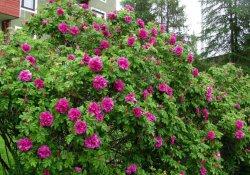 Роза ругоза Hansa