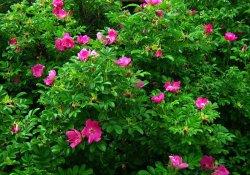 Роза морщинистая, или ругоза